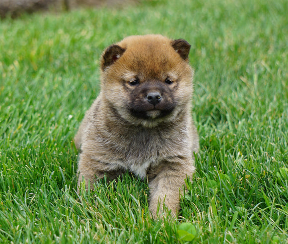AKC Registered Shiba Inu For Sale Dundee, OH Male- Clifford