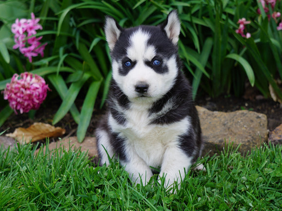 AKC Registered Siberian Husky For Sale Millersburg, OH Male- Chief