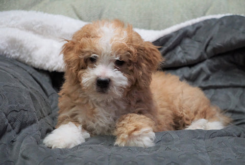 Mini Bernedoodle For Sale Millersburg, OH Male - Winston