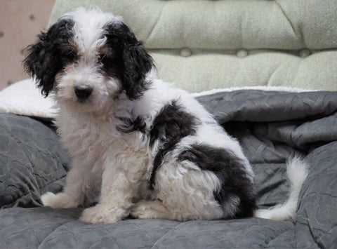 Mini Bernedoodle For Sale Millersburg, OH Female - Molly