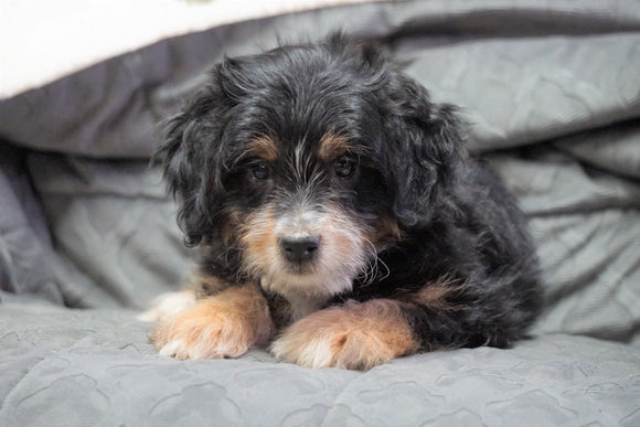 Mini Bernedoodle For Sale Millersburg, OH Male - Jasper