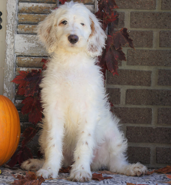 F1B Labradoodle For Sale Millersburg, OH Female- Twinkle