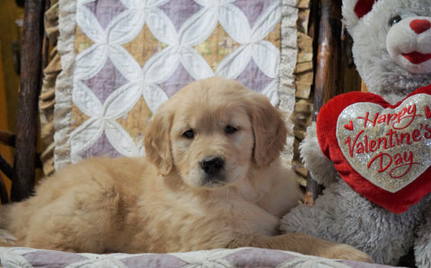 AKC Golden Retriever For Sale Fredericksburg, OH Male - Duke