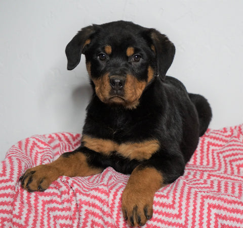 AKC Registered Rottweiler For Sale Sugarcreek, OH Female - Bella