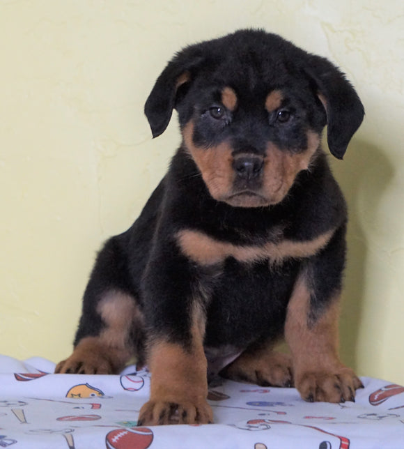 AKC Registered Rottweiler For Sale Sugarcreek, OH Male - Rambo