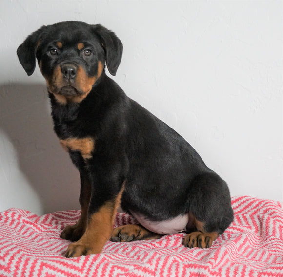 AKC Registered Rottweiler For Sale Sugarcreek, OH Female - Cece