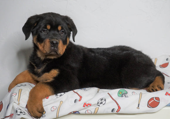 AKC Registered Rottweiler For Sale Sugarcreek, OH Male - Tucker