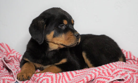 AKC Registered Rottweiler For Sale Sugarcreek, OH Female - Roxy