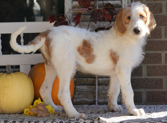 F1B Labradoodle For Sale Millersburg, OH Male- Theodore