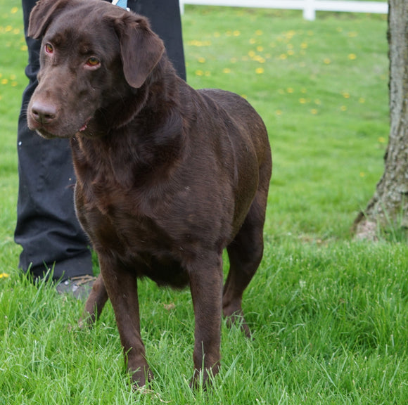 AKC Chocolate Labrador Retriever For Sale Sugarcreek, OH Female- Maggie