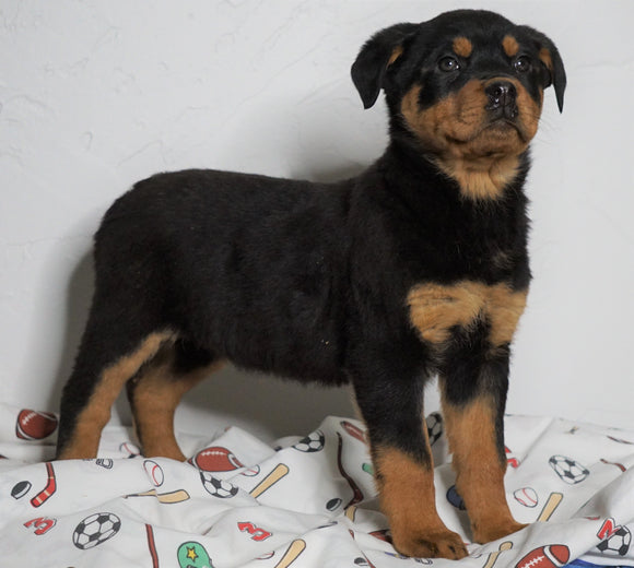 AKC Registered Rottweiler For Sale Sugarcreek, OH Female - Macey
