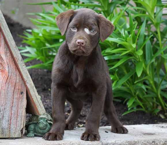AKC Chocolate Labrador Retriever For Sale Sugarcreek, OH Female- Betzy