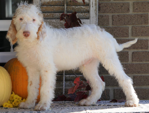 F1B Labradoodle For Sale Millersburg, OH Male- Toby
