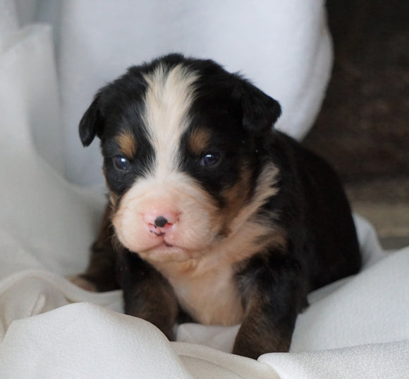 AKC Registered Bernese Mountain Dog For Sale Millersburg, OH Male- Roscoe
