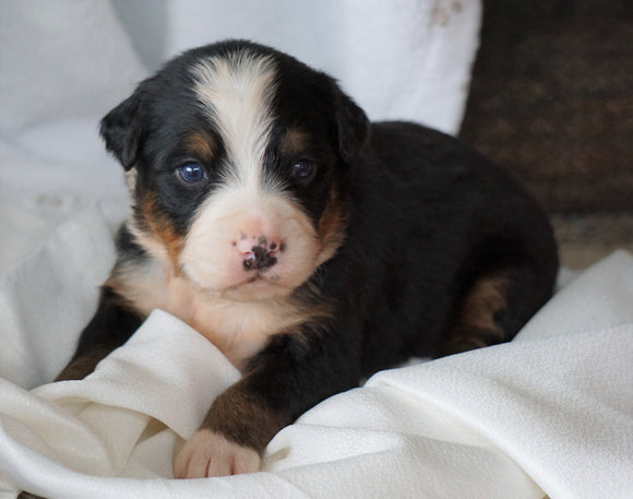 AKC Registered Bernese Mountain Dog For Sale Millersburg, OH Male- Rambo