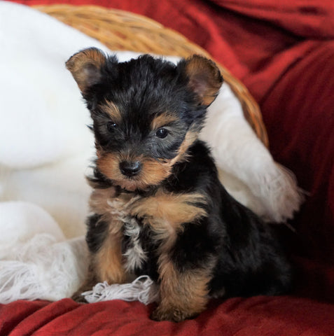AKC Registered Yorkshire Terrier For Sale Millersburg, OH Male - Rambo