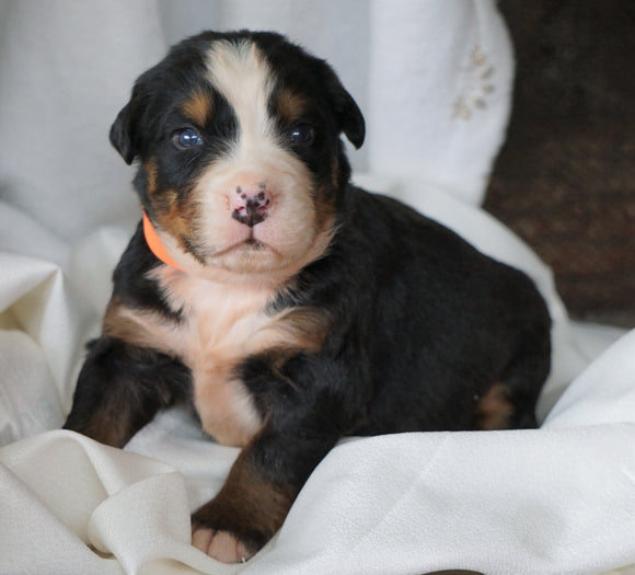 AKC Registered Bernese Mountain Dog For Sale Millersburg, OH Male- Sarge