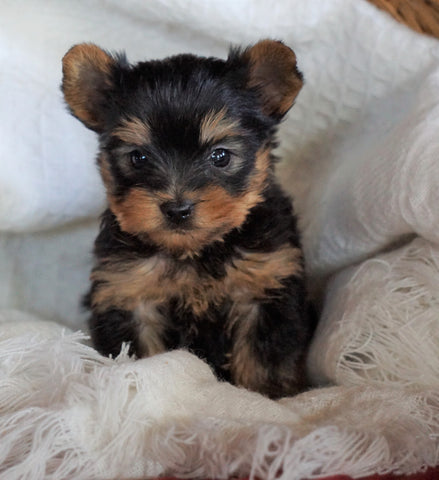 AKC Registered Yorkshire Terrier For Sale Millersburg, OH Male - Roscoe