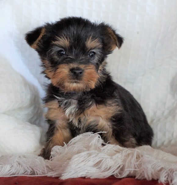 AKC Registered Yorkshire Terrier For Sale Millersburg, OH Male - Rover