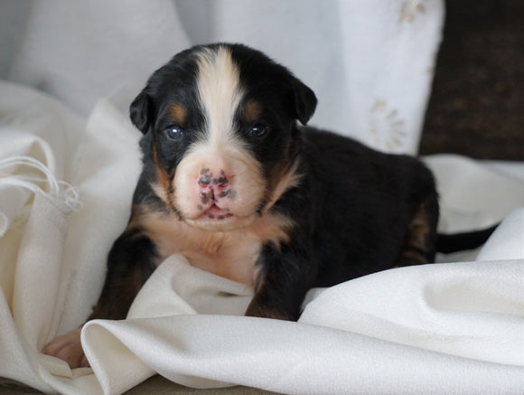 AKC Registered Bernese Mountain Dog For Sale Millersburg, OH Male- Chase