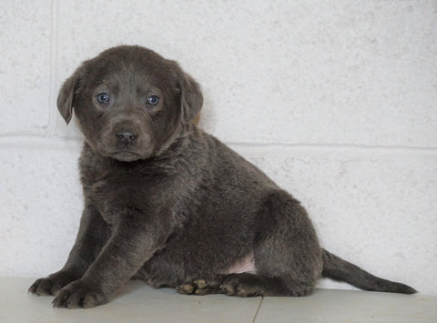 AKC Labrador Retriever -Charcoal- For Sale Sugarcreek, OH Male - Russel
