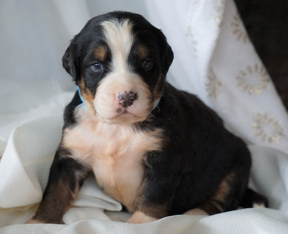 AKC Registered Bernese Mountain Dog For Sale Millersburg, OH Female- Roxy