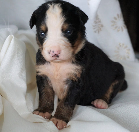 AKC Registered Bernese Mountain Dog For Sale Millersburg, OH Female- Rosie