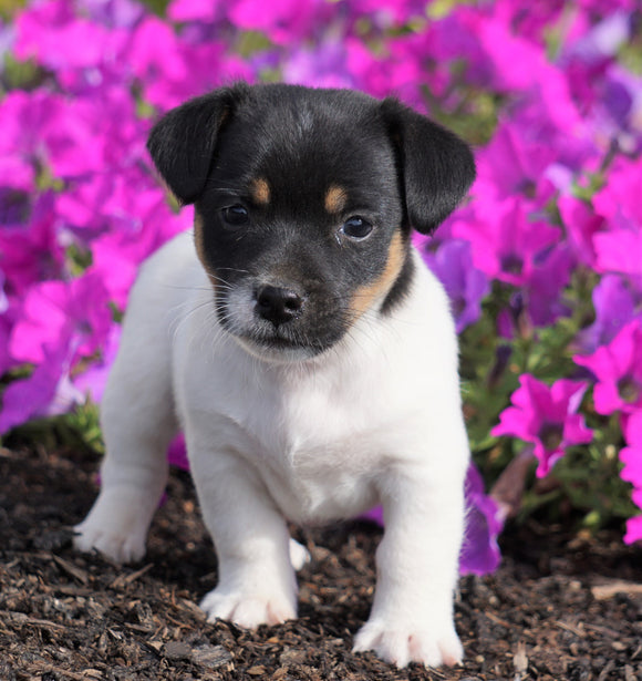 Jack Russell Terrier For Sale Holmesville, OH Male- Cody