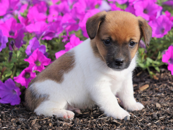Jack Russell Terrier For Sale Holmesville, OH Male- Carson