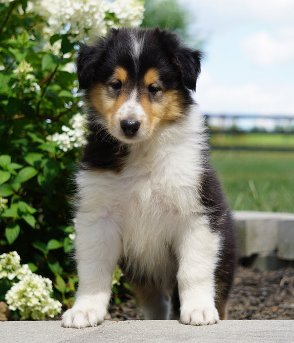 Lassie Collie For Sale Fredericksburg, OH Male- Duke