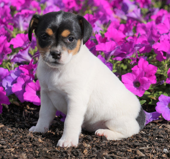 Jack Russell Terrier For Sale Holmesville, OH Female- Chloe