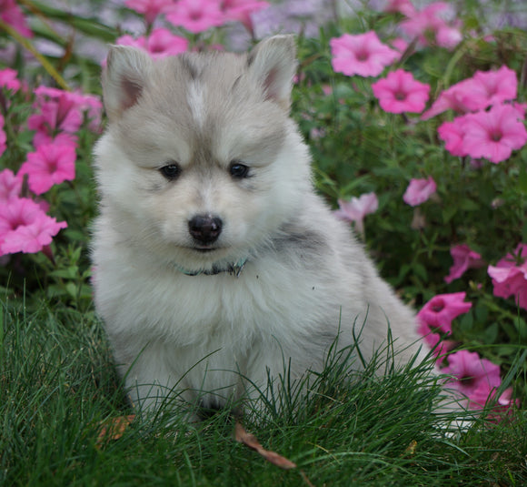 Pomsky For Sale Loudenville, OH Male- Ricky