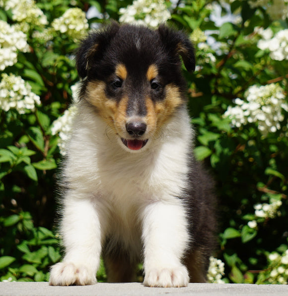 Lassie Collie For Sale Fredericksburg, OH Male- Denver