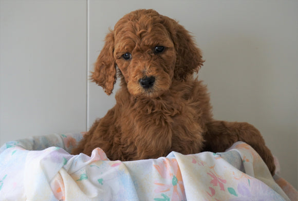 AKC Registered Standard Poodle For Sale Loudenville, OH Male- Buddy