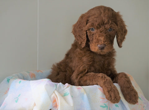 AKC Registered Standard Poodle For Sale Loudenville, OH Male- Charlie