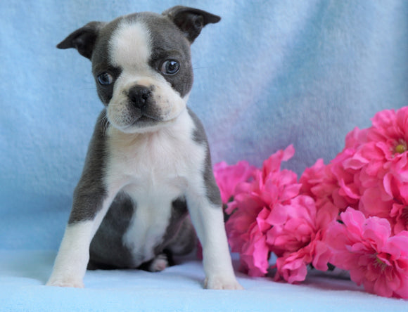 AKC Registered Boston Terrier For Sale Warsaw, OH Female- Chloe