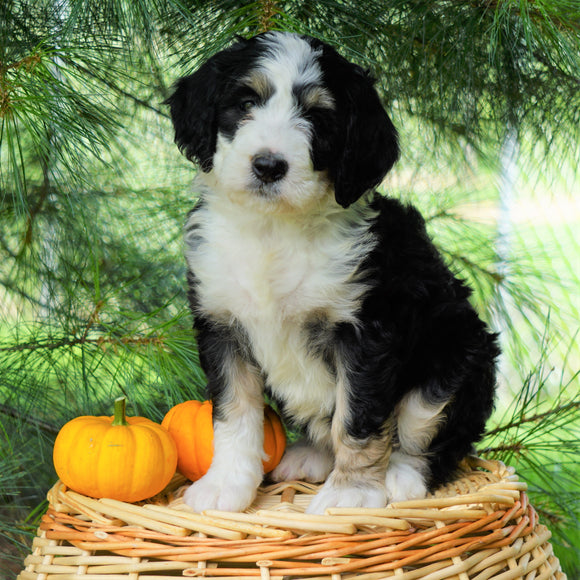 Standard Bernedoodle For Sale Baltic, OH Female- Brooke