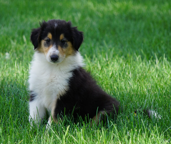 AKC Registered Lassie Collie For Sale Fredericksburg, OH Male- Oba