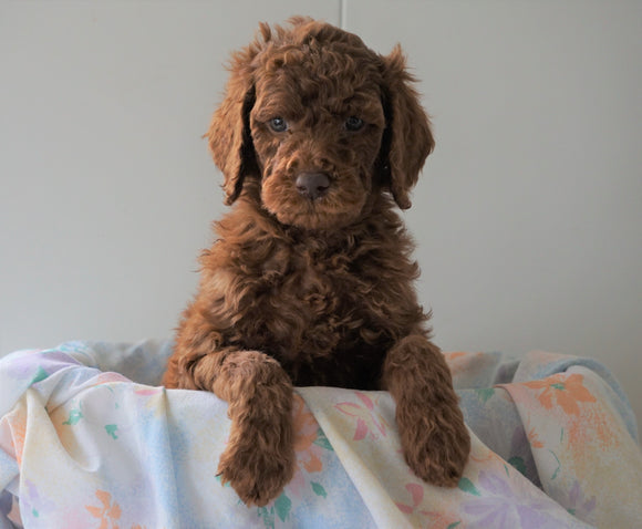 AKC Registered Standard Poodle For Sale Loudenville, OH Male- Jack