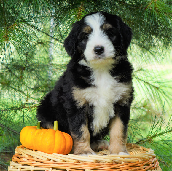 Standard Bernedoodle For Sale Baltic, OH Female- Miranda