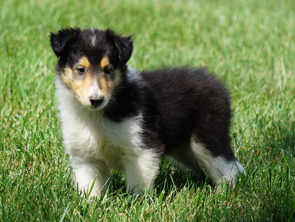 AKC Registered Lassie Collie For Sale Fredericksburg, OH Female- Olivia