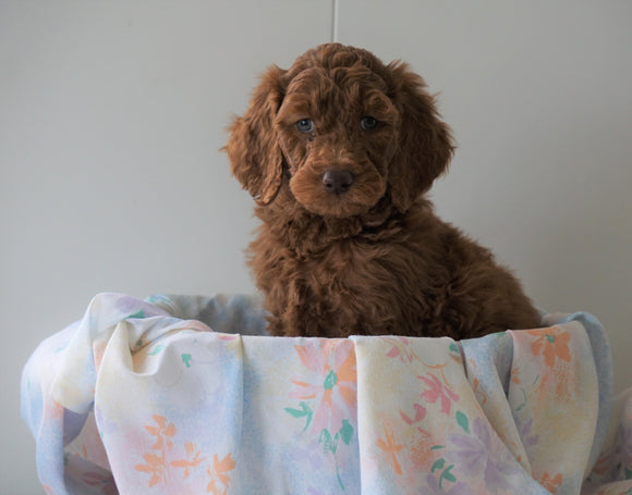 AKC Registered Standard Poodle For Sale Loudenville, OH Male- Max