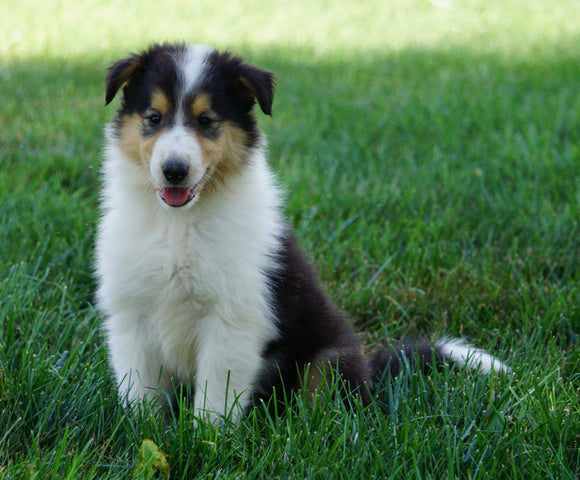AKC Registered Lassie Collie For Sale Fredericksburg, OH Female- Oriole
