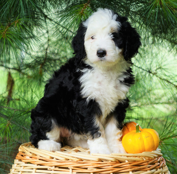 Standard Bernedoodle For Sale Baltic, OH Female- June
