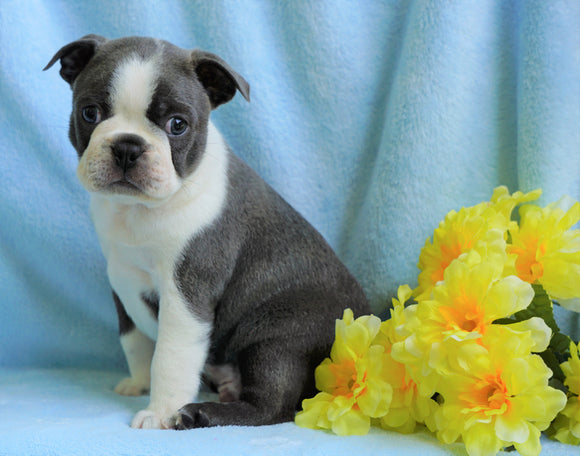 AKC Registered Boston Terrier For Sale Warsaw, OH Male- Corbin