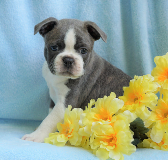 AKC Registered Boston Terrier For Sale Warsaw, OH Male- Chase