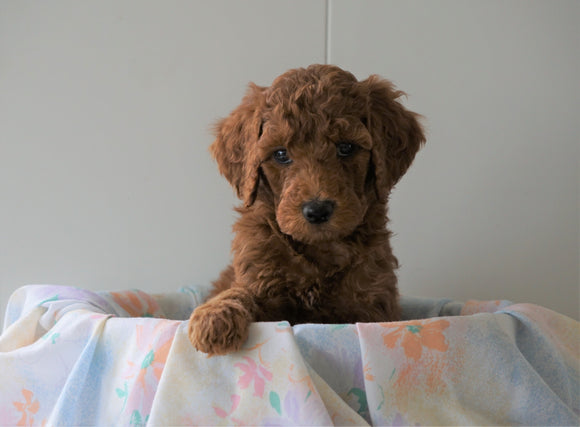AKC Registered Standard Poodle For Sale Loudenville, OH Male- Oscar