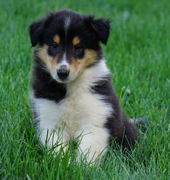 AKC Registered Lassie Collie For Sale Fredericksburg, OH Male- Oscar