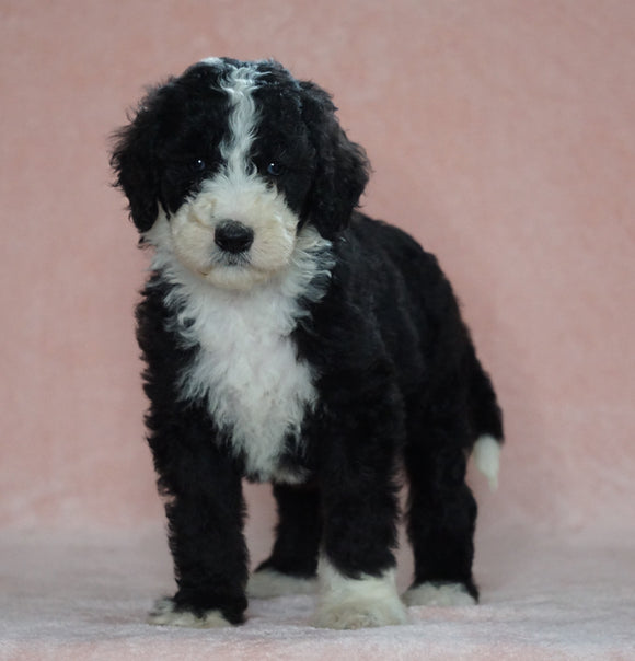 Sheepadoodle (Standard) For Sale Baltic, OH Female- Brenda