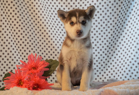 Siberian Husky For Sale Fredericksburg, OH Female- Ava